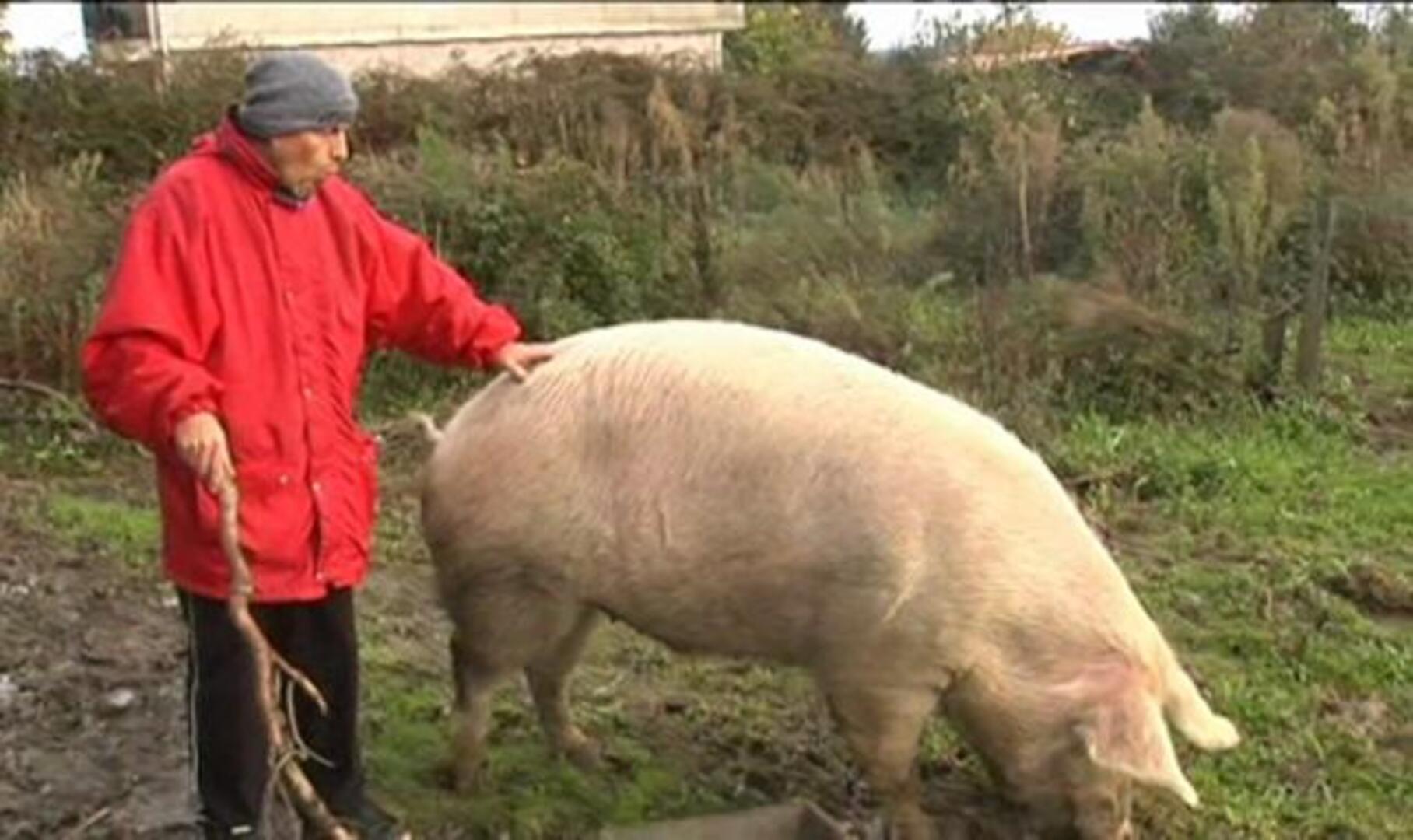 El cerdo gallego Quinín se libra de su quinto sacrificio por San Martín